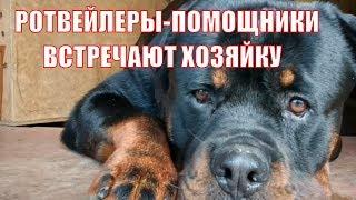 РОТВЕЙЛЕРЫ-ПОМОЩНИКИ ВСТРЕЧАЮТ ХОЗЯЙКУ.Дрессировка и воспитание собаки