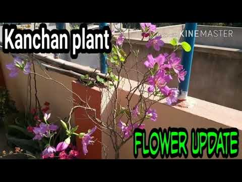 Bauhinia variegata flower overview / Flowering in Kanchan / Tropical flower plant #11