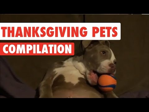 Thanksgiving-Pets-Video-Compilation-2016