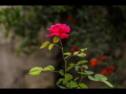 Water management in dry land and Rose cultivation.