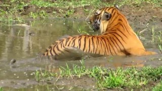 Bandipur Tiger - Prince, the Alpha male!