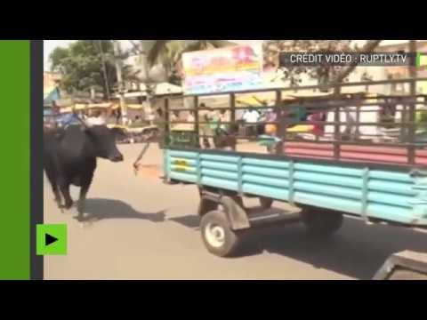 Instinct maternel : une vache accompagne son petit à l'hôpital