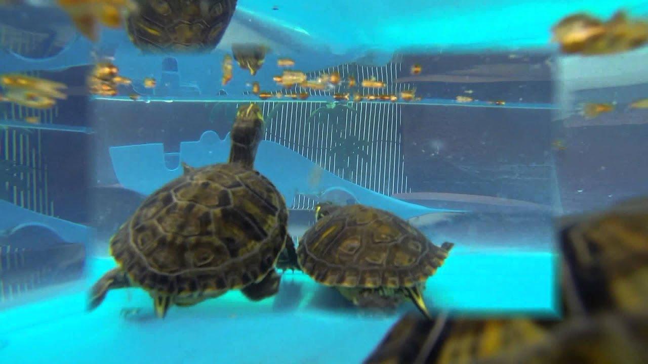 Tortuga de agua mascota youtube for Peceras para tortugas