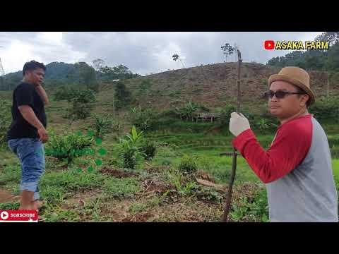 ngopi-bareng-dan-makan-durian-waktu-senja-di-kebun-durian-asaka-farm