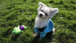 Morkie 101: Is the Morkie Dog Breed Right for You?