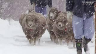 母子ヒツジ、せっせと雪道散歩 安産のために運動 札幌