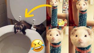 🤣 Funny Ferrets Compilation - Funny Ferrets TikTok - Funny Ferrets Videos - Ferrets Funny Moments😂