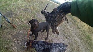 Охота на вальдшнепа с дратхаарами на Юге России