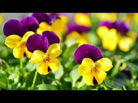 Pansies flowers plant - Viola tricolor hortensis