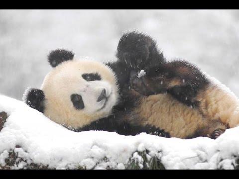 Панда радуется снегу в Вашингтоне