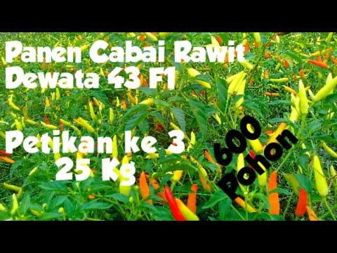 Panen Ke 3 Cabai Rawit Dewata 43 F1 #Mahar Rp. 17.000,-