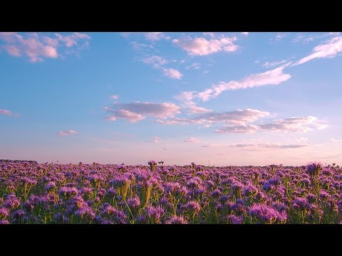 PHACELIA FLOWERS FIELD Relaxation Video - THANK YOU-video To ALL Our Subscribers! - FREE DOWNLOAD
