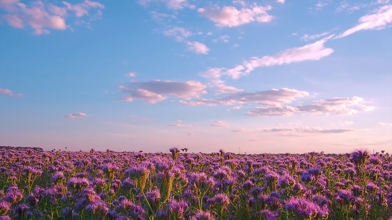 PHACELIA FLOWERS FIELD Relaxation Video , THANK YOU,video to ALL our  subscribers! , FREE DOWNLOAD