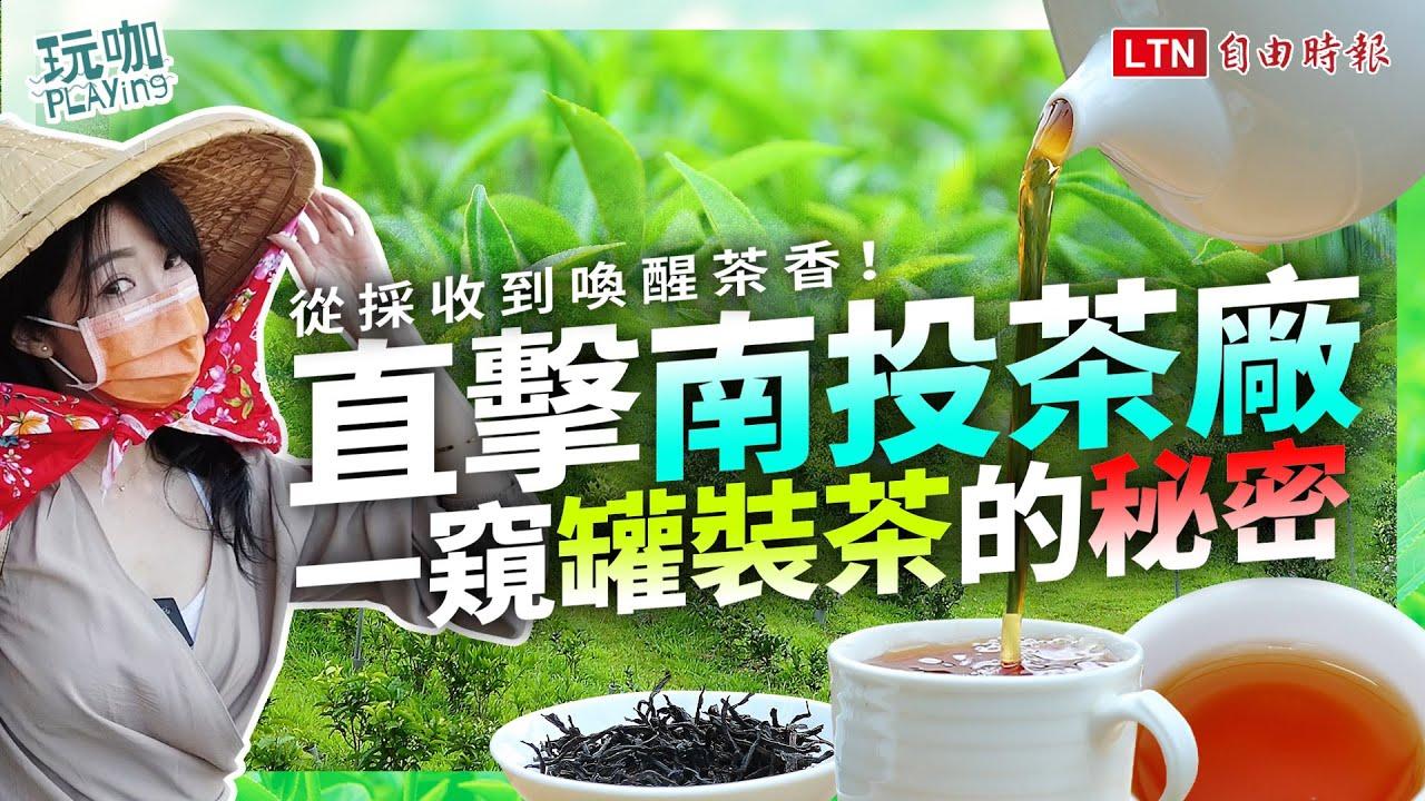 <你喝的「罐裝茶」是真茶葉?直擊南投茶廠 從採收到製程大公開