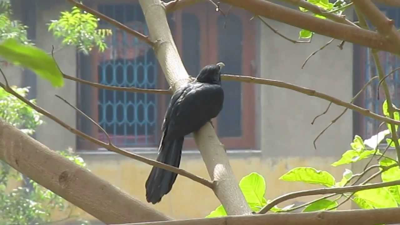 Asian Koel Call