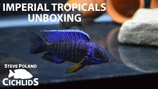 Fish Unboxing: Blue Regal Peacock Breeding Group