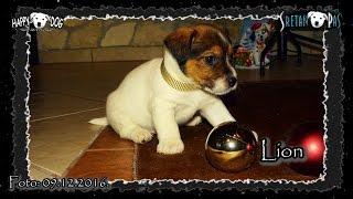 Jack Russell WELPEN/Jack russell štenci - Jack Russell Puppies/Jack Russel/Jack Russell Terrier Dog