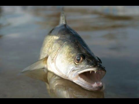 Как ловить судака на резинку с берега видео