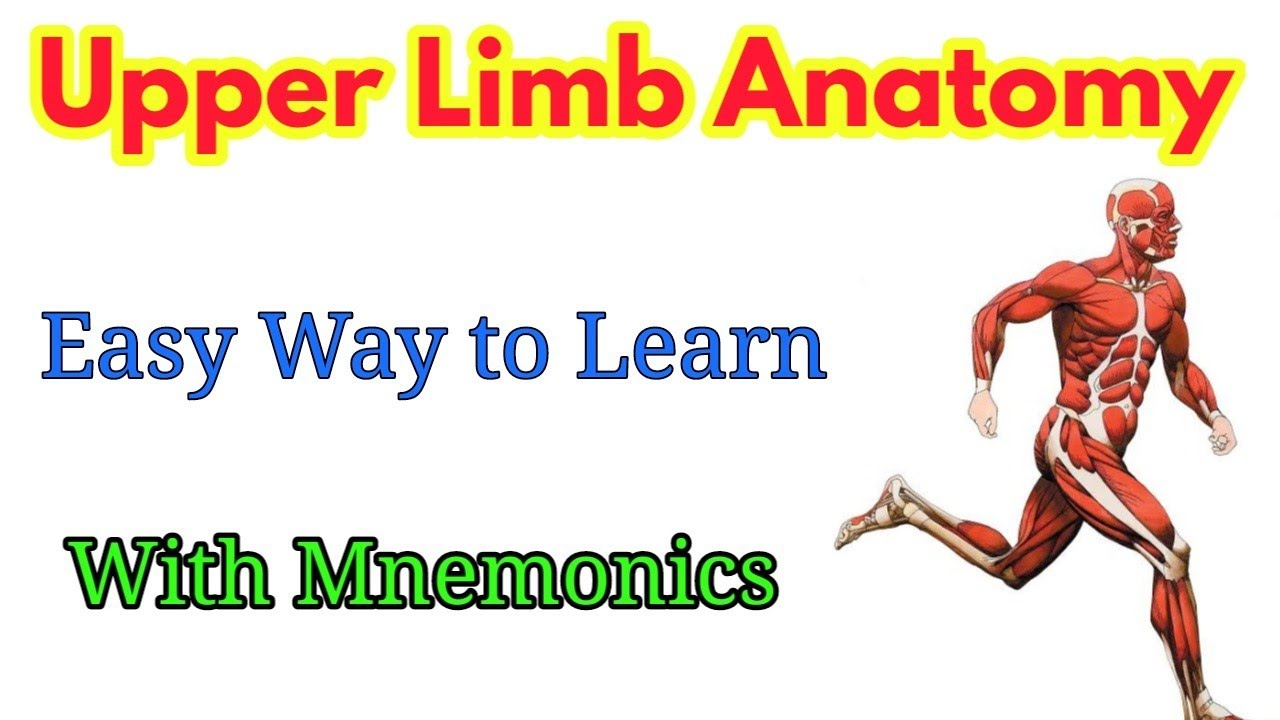 Upper Limb Anatomy Mnemonics Part 1 Youtube