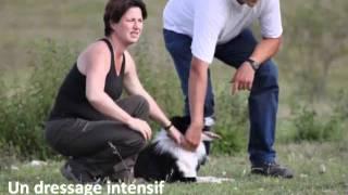 Le Border Collie : un outils de travail - Centre d'élevage de Poisy