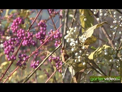 Callicarpa - Chinesische Schönfrucht mit weissen oder violetten Beeren