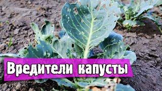 видео Капустная моль: описание и меры борьбы, инсектициды и народные средства