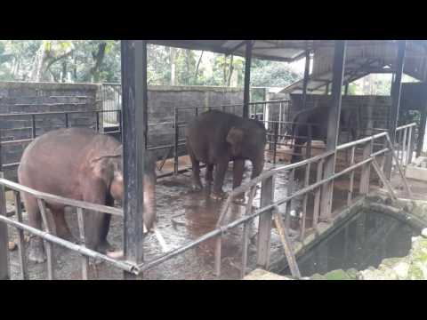 Elephants chained by legs displaying worrying sings of zoochosis.