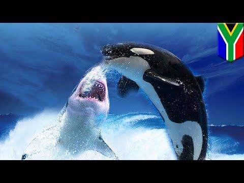 Paus pembunuh vs hiu putih di perairan Afrika Selatan - TomoNews