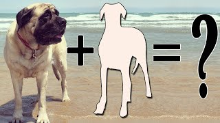 Top 7 Mastiff Cross Breeds | Mastiff mix breeds