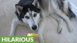 Husky gives comical reaction to lemon tasting