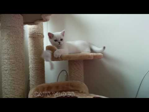 CATS VLOGS 4th Day OXYGEN 3 months old British Short Hair Kitten