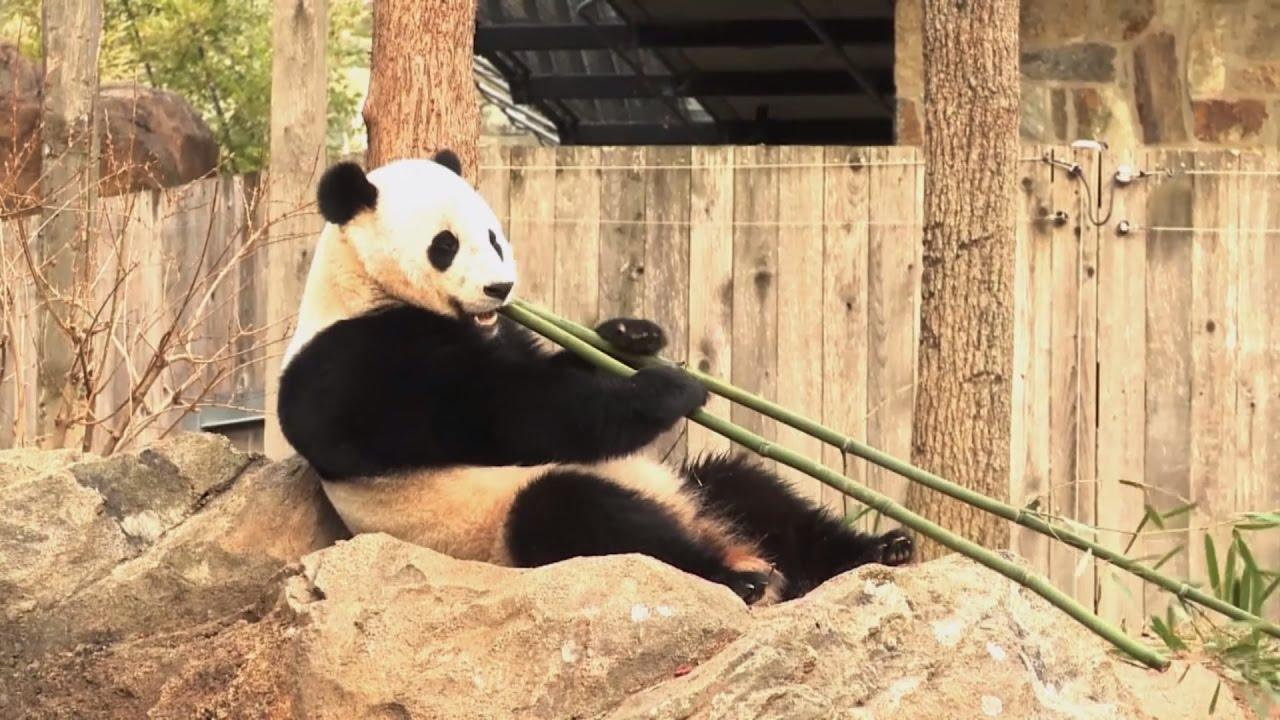 Чао, Бао Бао: рождённая в США гигантская панда переехала в Китай