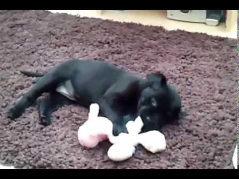 7 week old black Labrador puppy's first day at home!