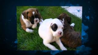 Potty Training A Boxer Puppy