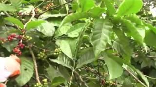 atovi kuya ated coffee farm indang cavite dec 23 14