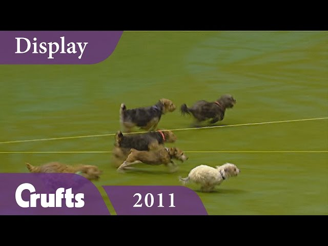 Tricky Tykes Display Team Cause Havoc at Crufts 2011 | Crufts Classics