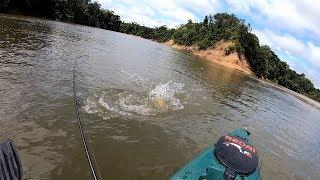 BAGRE FISGADO VIRA ISCA ENQUANTO ERA PUXADO!!! Pescaria.