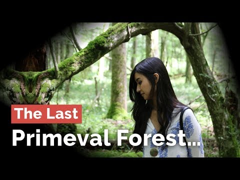 Last in Europe, The Primeval Forest of Białowieża...