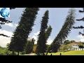 """Những cây thông kỳ lạ này không mọc thẳng mà cứ """"nghiêng ngả"""" - lý do là vì..."""