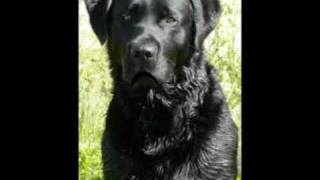 "Black Lab — ""go Ahead, Make My Day."" Say What!?!"