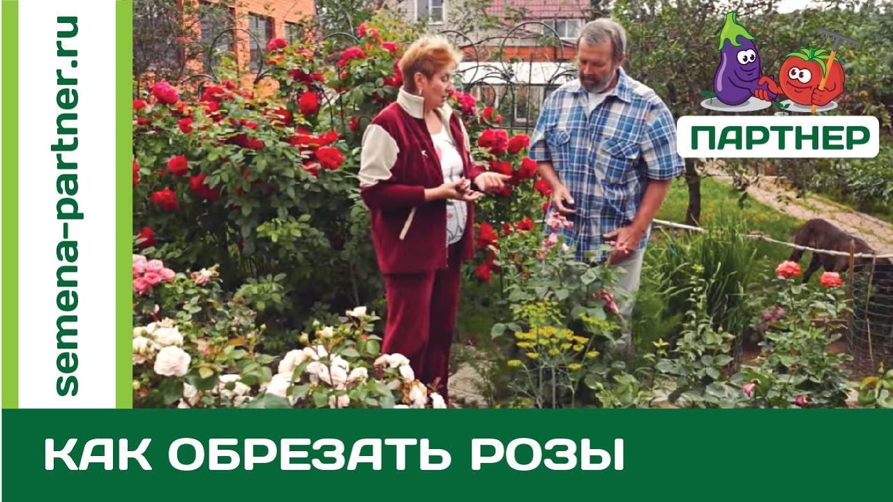 как убрать розы на зиму видео