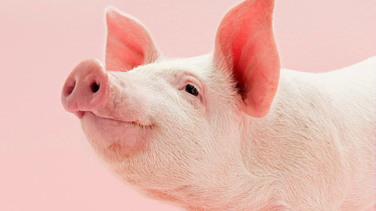 pig sound effect - YouTube