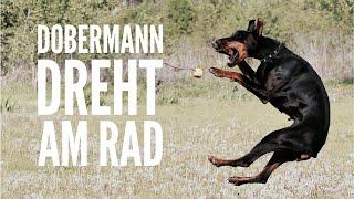 Mein Dobermann dreht am Rad - Unsicherheit & Stubenreinheit #EureFragen - Hundeerziehung by Vitomali