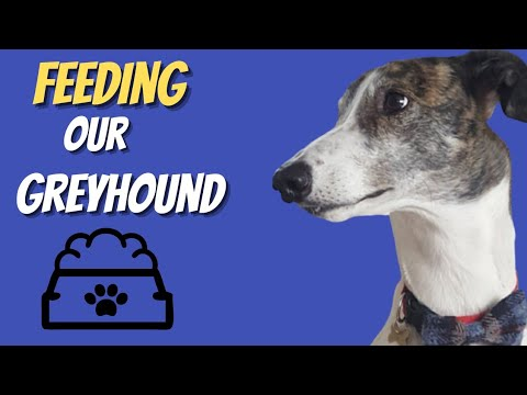 Adopting a Greyhound - Feeding our Greyhound Magnus