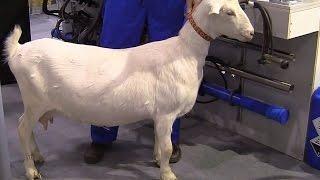 Бонитировка козы зааненской породы. Мастер-класс. Питер Байман (Peter Bayman)