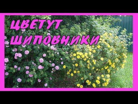 ЦВЕТУТ ШИПОВНИКИ! Фонтаны цветов!
