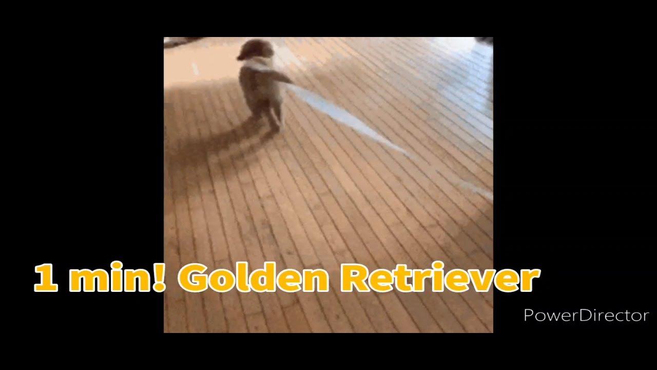 1 minute! Golden Retriever