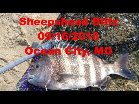Sheepshead Blitz At Ocean City, MD 09/16/2018