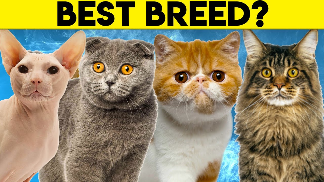 Best Cat Breeds For First Time Owners Youtube