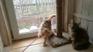 Котята мейн кун из питомника Www.kun-cats.ru